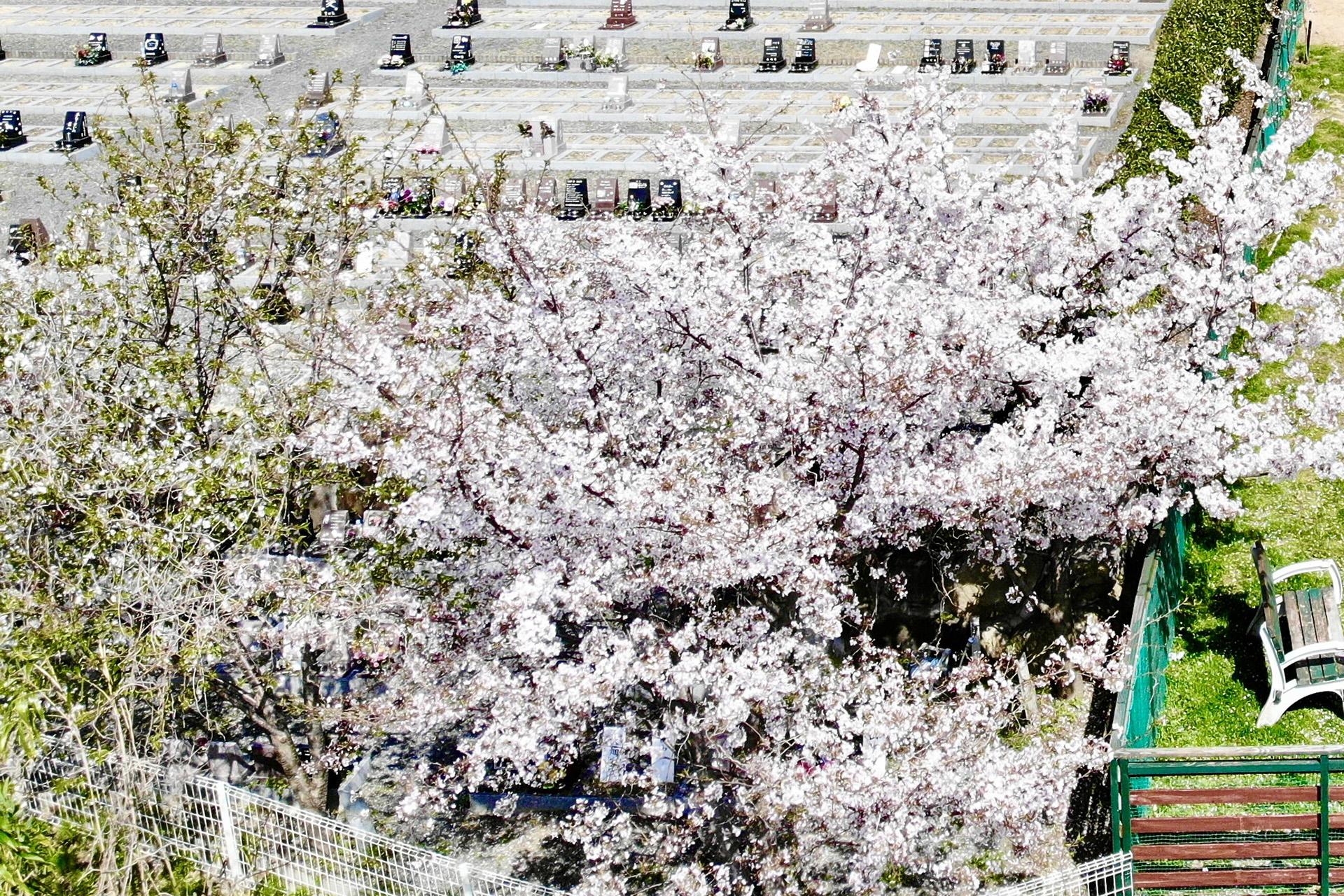 桜植樹寄贈募集